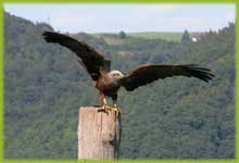 A bird of prey in the wildpark-Edersee